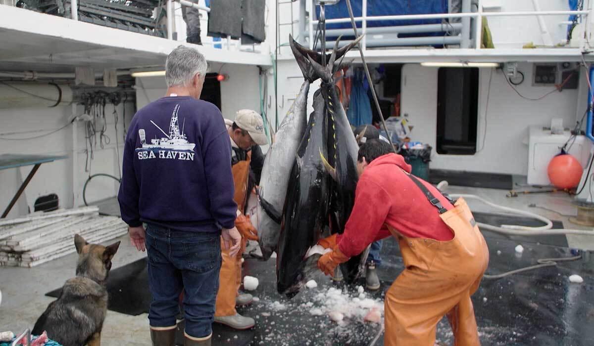 Fishermen cleaning fresh tuna.   Earth Focus