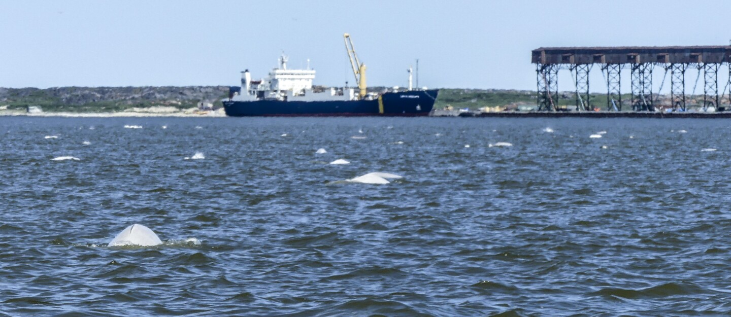 Beluga whales next to a ship. Vergara plans to study changes in noise in the St. Lawrence River, should the pandemic shutdowns continue into the summer. | Valeria Vergara, Ocean Wise