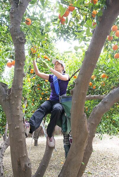 Food Forward volunteer Danielle Goldberg picks oranges in Woodland Hills. 2014.   Courtesy of Angel City Press