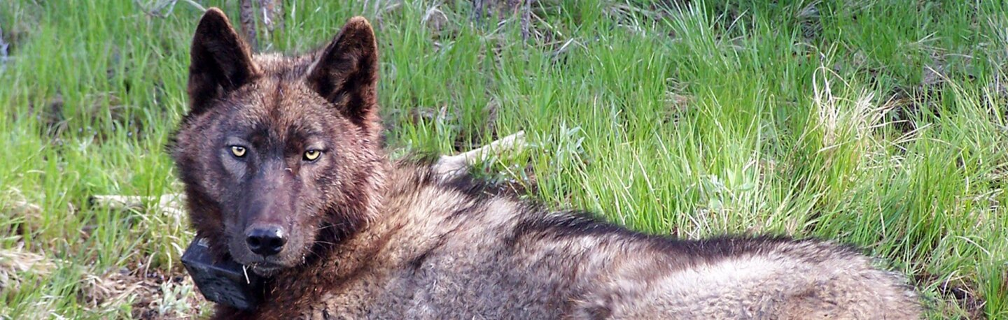 OR-25, gray wolf in Oregon's Inmaha Pack