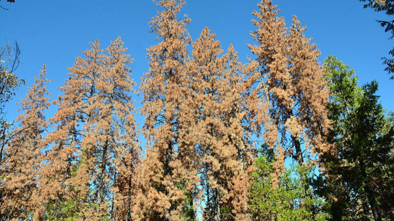 Dead trees in the Sierra Nevada