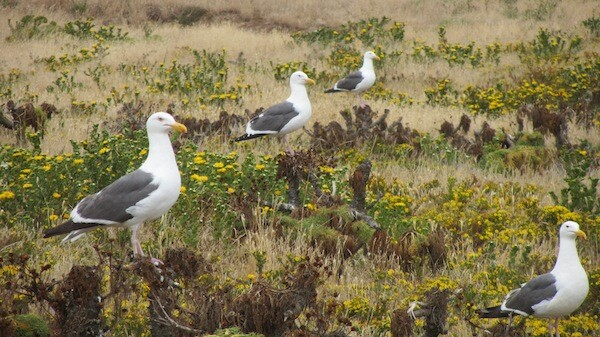 Western Gulls atop Giant Coreopsis with gumplant in bloom around them | Photo by Zach Behrens/KCET