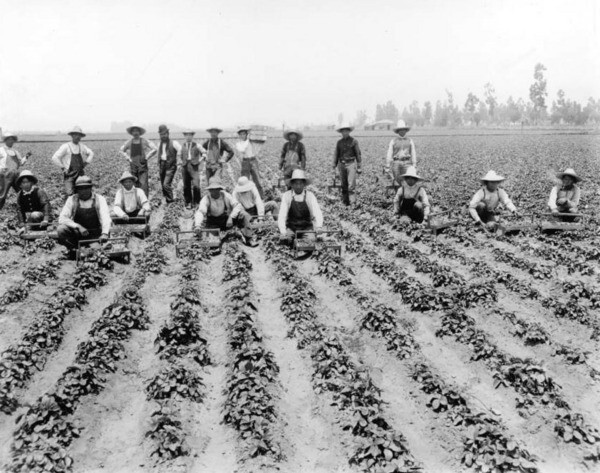 Farm workers on a Tropico Strawberry field, circa 1900. Courtesy of the USC Libraries - California Historical Society Collection.
