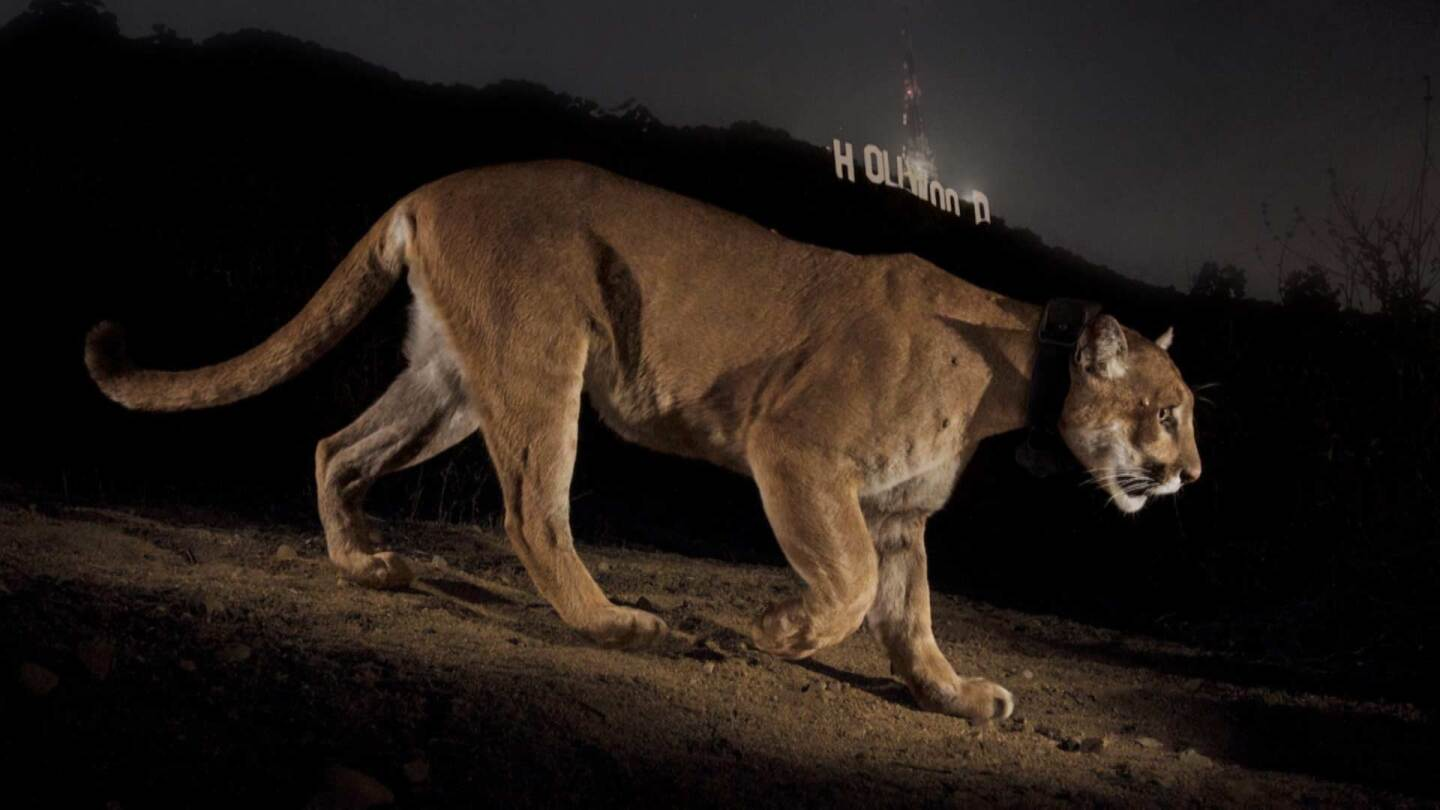 A Tale of Two Mountain Lions - SoCal Connected