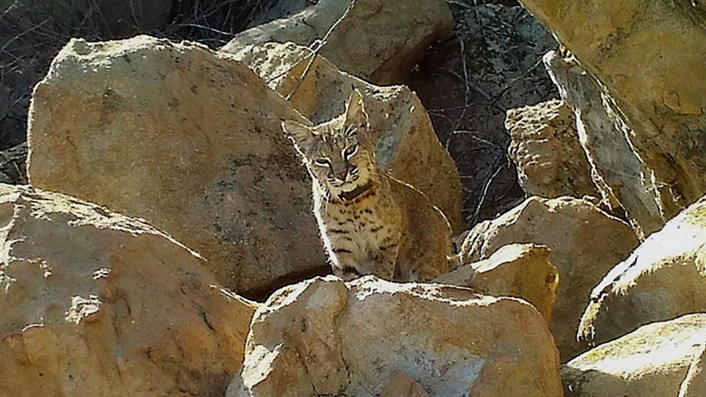 Bobcat B-332 died of mange in December 2016 | photo courtesy National Park Service
