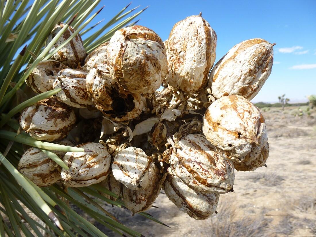 Succulents: Arthur B. Ripley Desert Woodland State Park