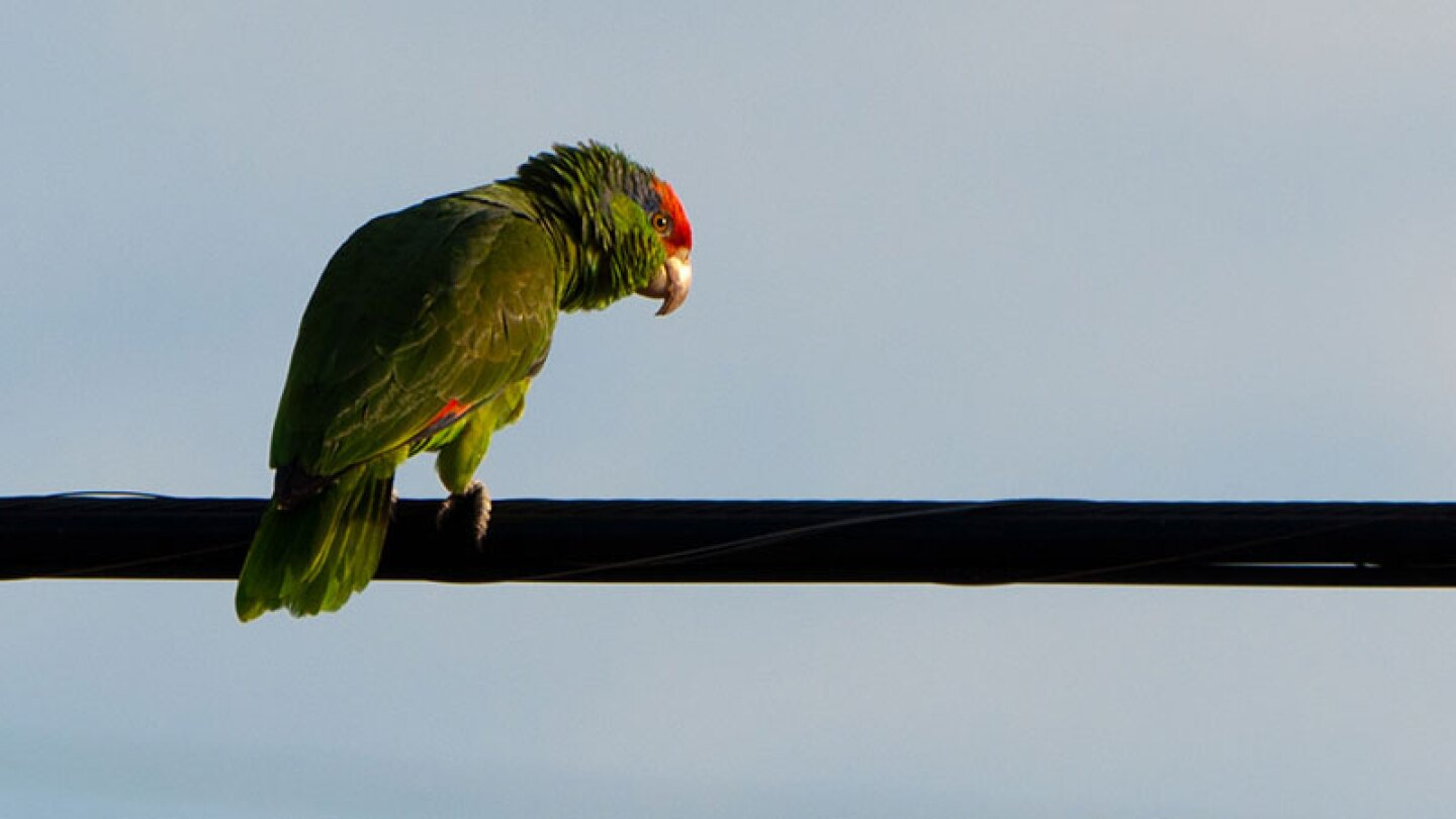 Parrot greets the morning on a West Covina power line. | Photo: John Liu, some rights reserved