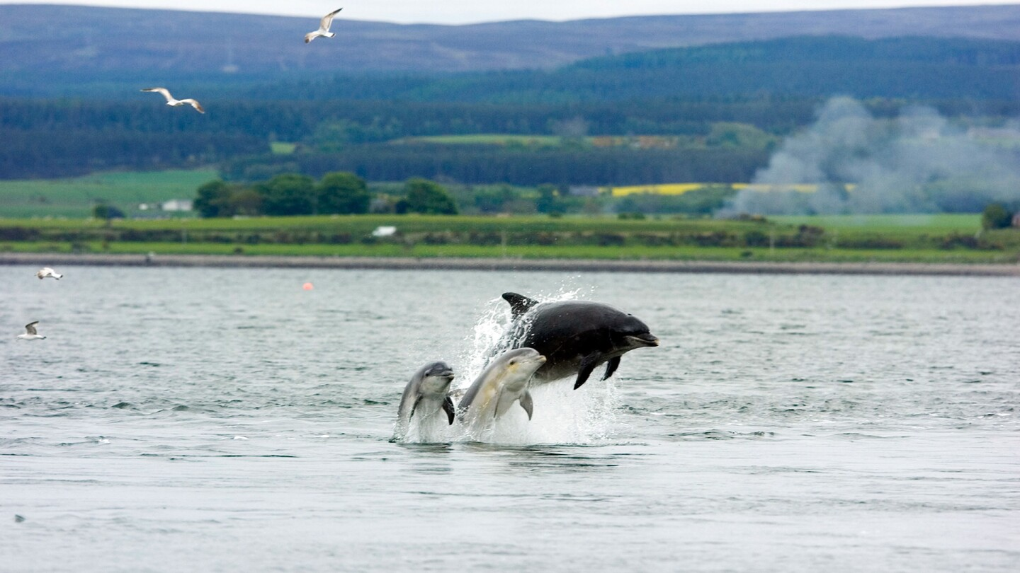 Dolphins at Chanonry Point, Scotland