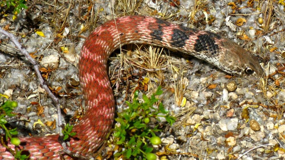 Coachwhip, a.k.a. red racer snake | Photo: Joshua Tree National Park