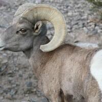 Desert bighorn sheep | Photo: David Lamfrom