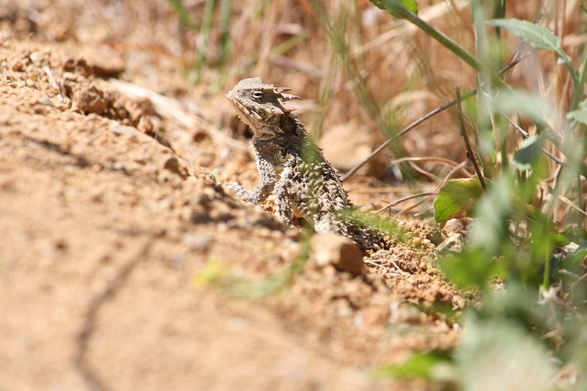 Blainville horned lizard (Phrynosoma coronatum) of Griffith Park| Courtesy of Gerry Hans
