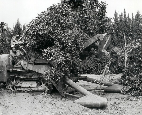 A man in a stump puller uproots a citrus tree. Photo courtesy of the Orange County Archives.