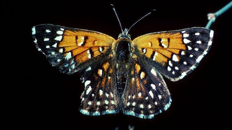 Lange's metalmark butterfly   Photo: USFWS