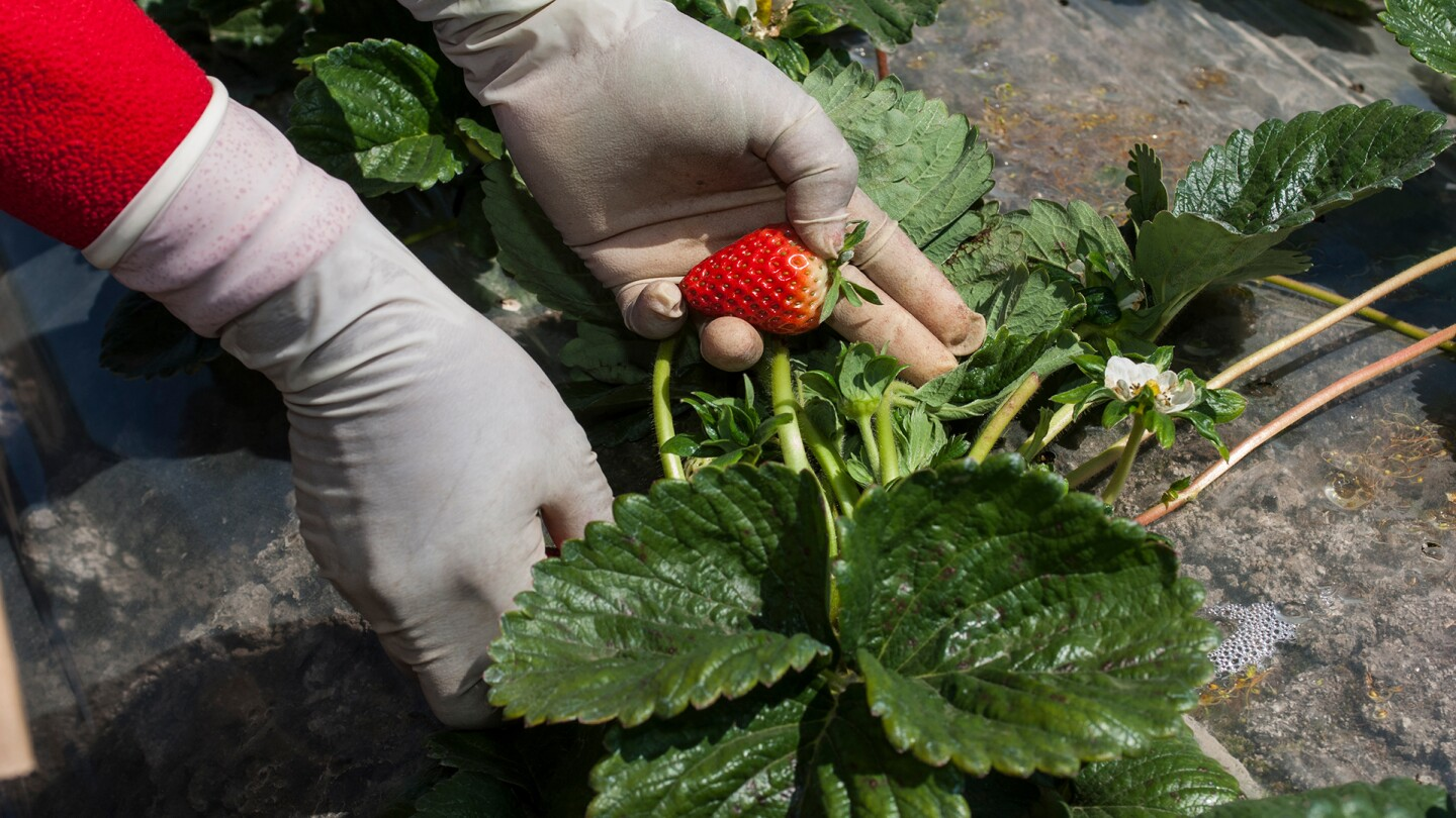 Farm worker picking strawberries from low lying strawberry plants in Watsonville, California | David Gomez/Getty Images
