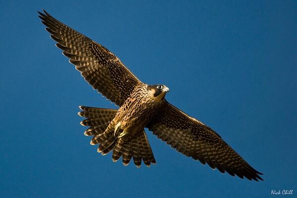 pregrine-falcon-9-17-13-thumb-600x399-59997