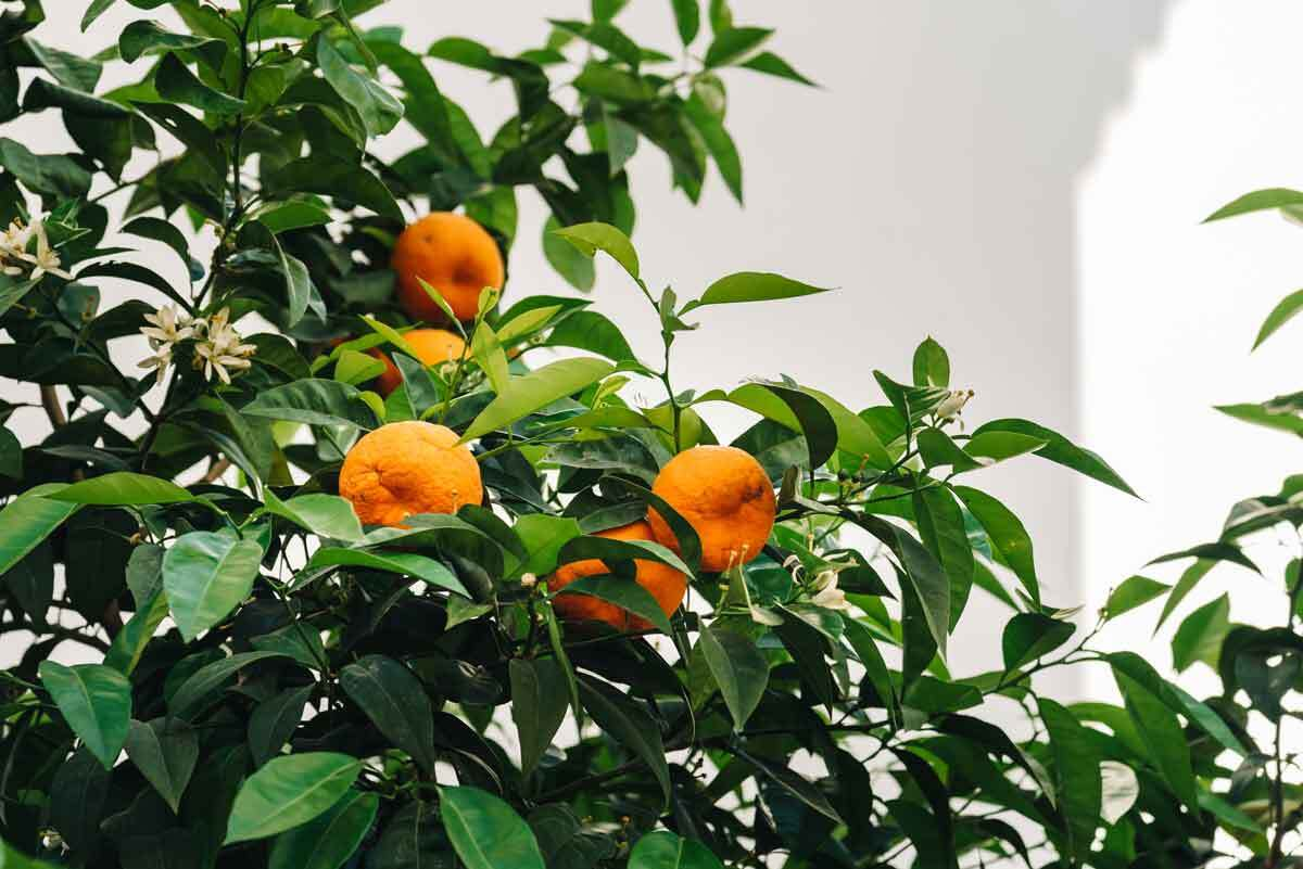 Urban orange tree against white wall. | iStock/JJFarquitectos