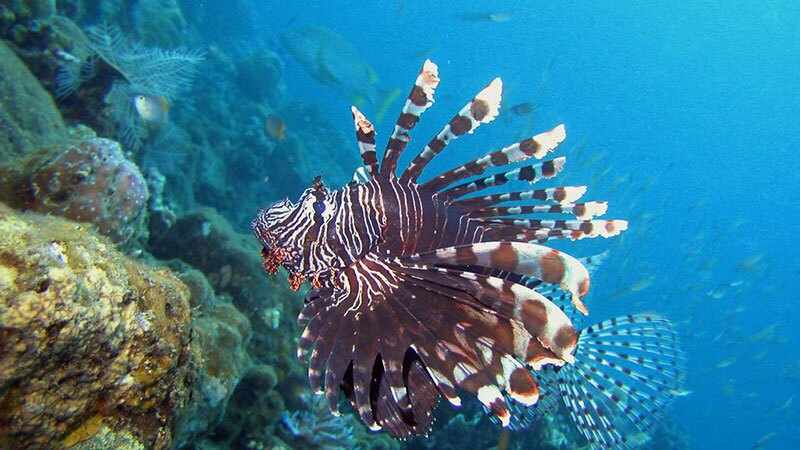 A lionfish where it belongs: in Bali. | Photo: Chika Watanabe, some rights reserved