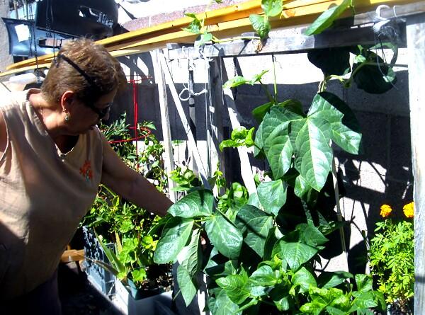 Wedged between car parts and brick walls, Elvira grows various chiles, sarabando beans and marigolds. | Photo: Vickie Vertiz