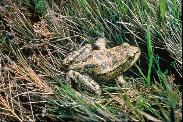 800px-Red-legged-frog-usfws-thumb-600x400-66240