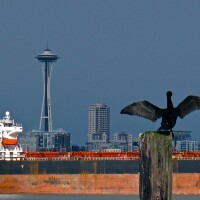 A cormorant stretches its wings with the Space Needle in the background. | Photo: Curtiss Cronn, some rights reserved