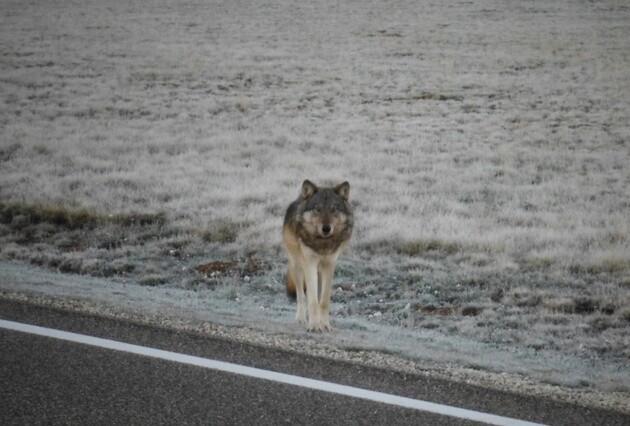 gray-wolf-grand-canyon-1-5-15-thumb-630x426-86012