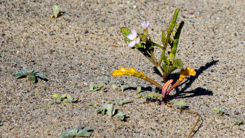 Sea rocket and other beach sand seedlings | Photo: Jason Goldman
