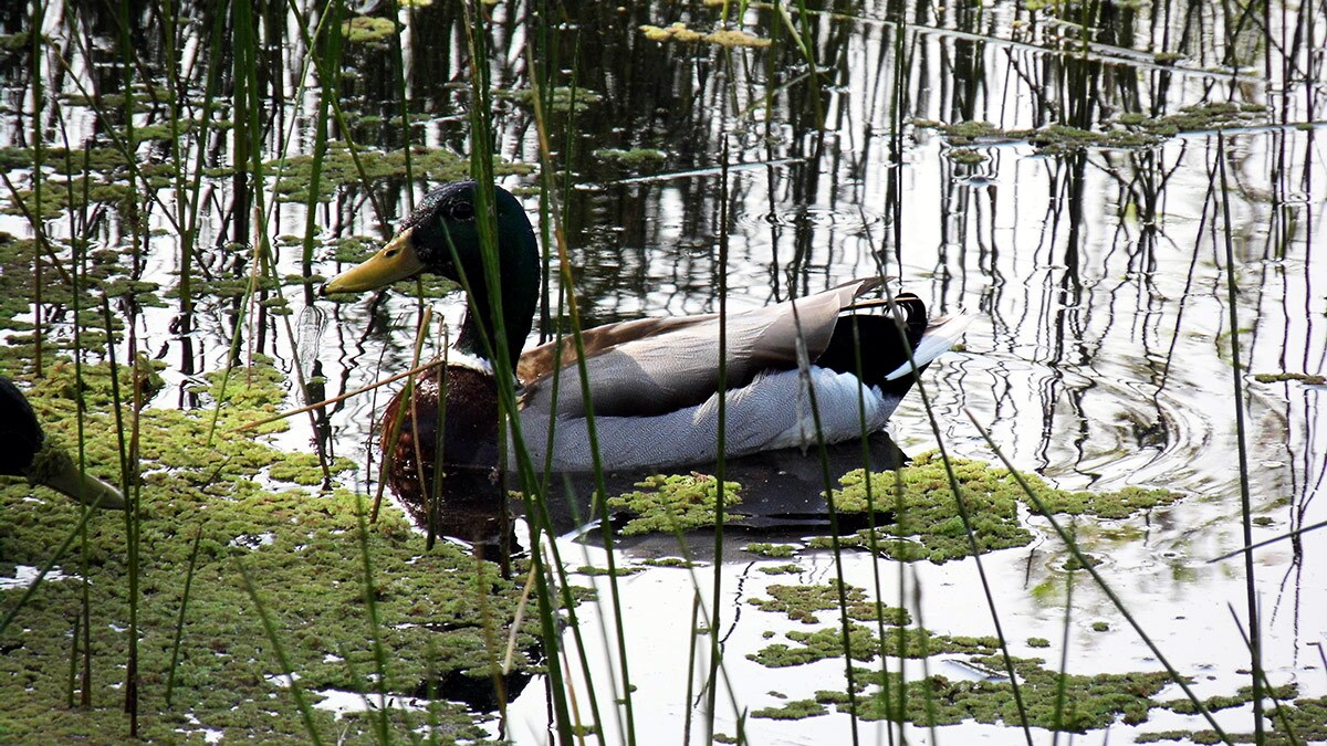 A duck swims at the Madrona Marsh Preserve and Nature Center | Sandi Hemmerlein
