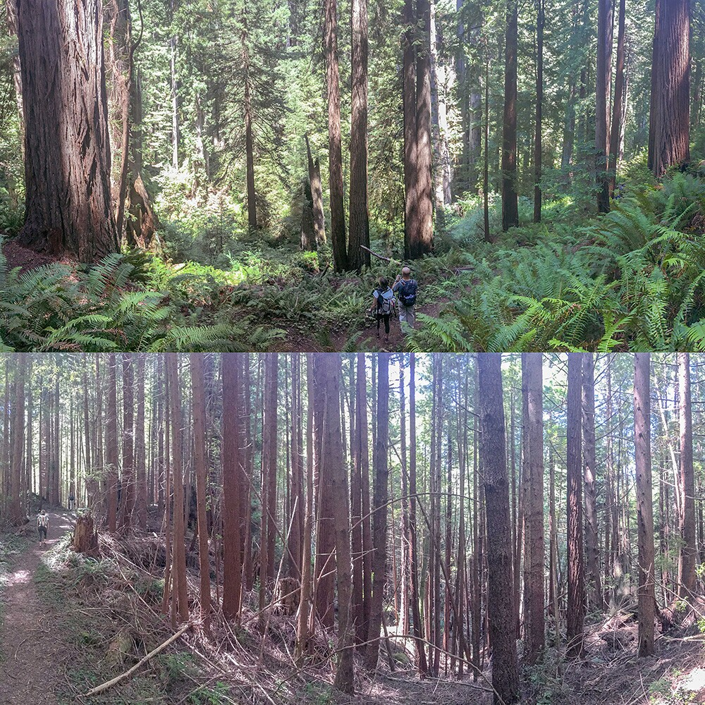 Two panoramic photos comparing conditions in an old growth forest(top) and a neighboring second growth forest(bottom) in Prairie Creek Redwoods State Park.