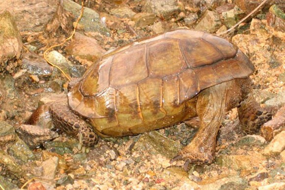 A desert tortoise in typical drinking position during a fall rainstorm. | Photo: Courtesy Dr. Berry.