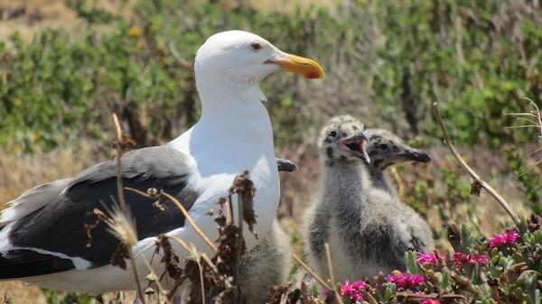 Chicks gather around their parent | Photo by Zach Behrens/KCET
