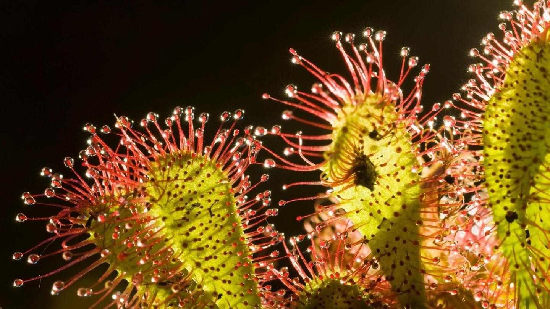 "A closeup of a sundew plant.   ""Plants Behaving Badly"""