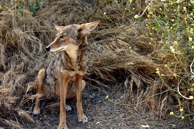 laurel-canyon-coyote-10-20-15-thumb-630x419-98371