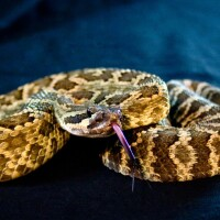 Southern Pacific rattlesnake | Photo: acorbit, some rights reserved