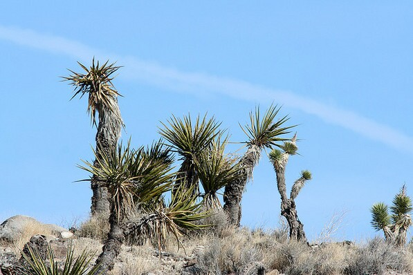 A relatively young clump of Mojave yucca, only about 500 years old or so | Chris Clarke photo