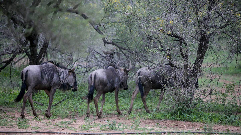Wildlife in South Africa's Kruger National Park.