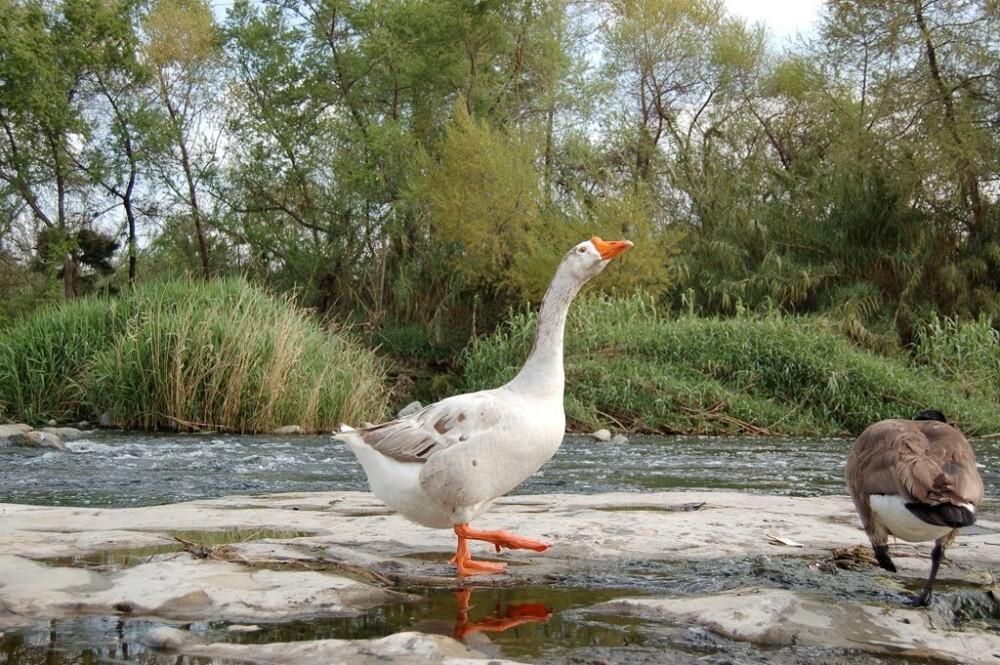 LA River Birds: Goose