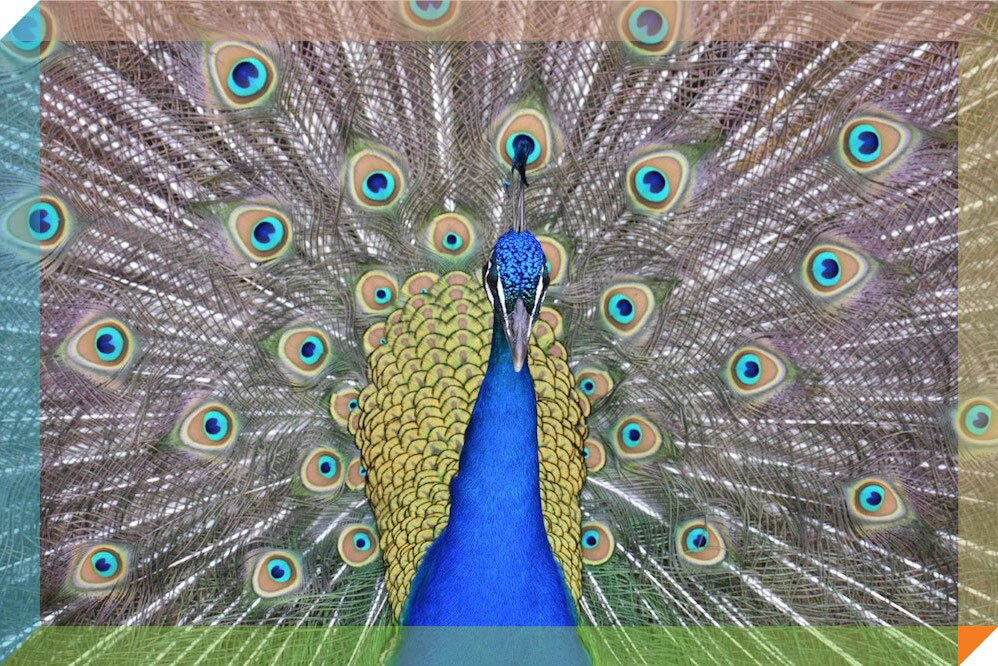 A male peacock shows off its colorful feathers.