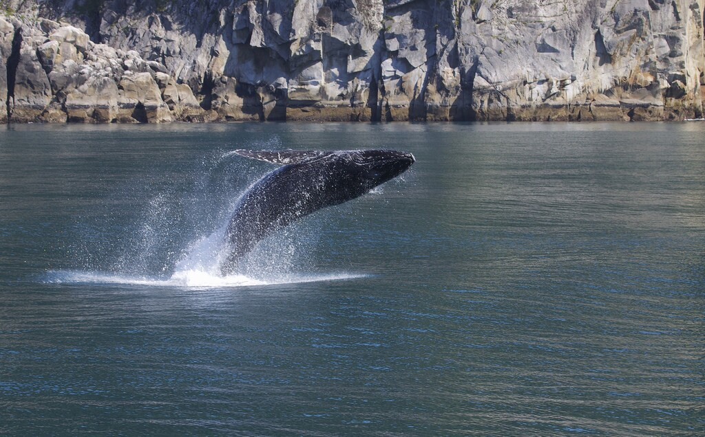 humpback-breaching-7-18-16.jpg