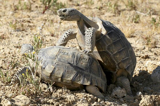 Mature desert tortoises mating. | Photo: Courtesy David Lamfrom.