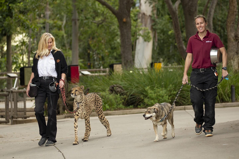 Handlers walking a cheetah and a dog at the San Diego Safari Park. | Taken March 25, 2020 by Tammy Spratt/San Diego Zoo