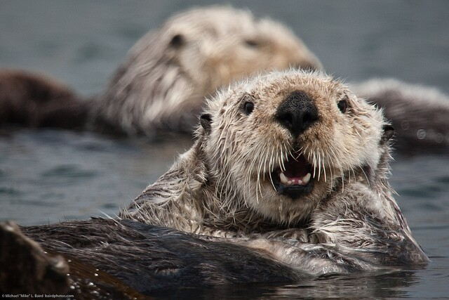 sea-otter-ban-southern-california