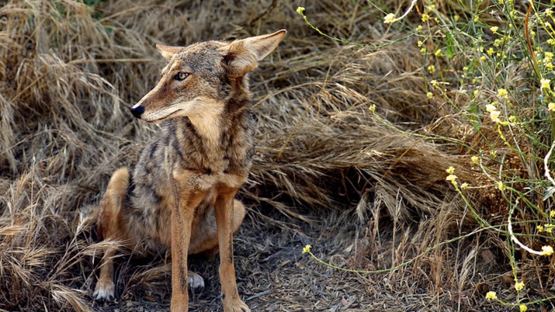 coyote-live-tar-pits-5-116.jpg