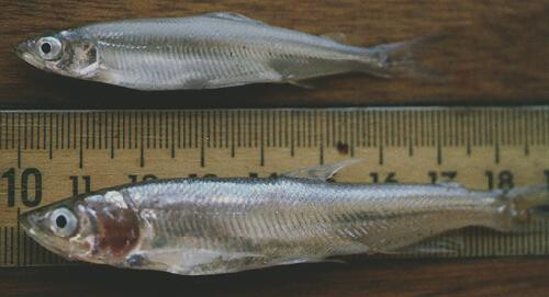 Longfin smelt (bottom) compared to the better-known Delta smelt (top) | Photo: Randall Baxter/California Department of Fish and Wildlife