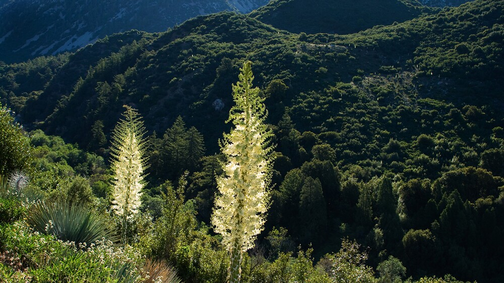 Spanish Bayonet (Chaparral Yucca; Hesperoyucca whipplei) in full flower before the steep and rugged forested slopes of the Cucamonga Wilderness. | Photo: Michael E. Gordon