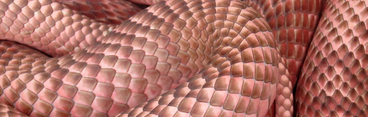 Detail of red racer snake | Photo: Santa Fe Lady, some rights reserved