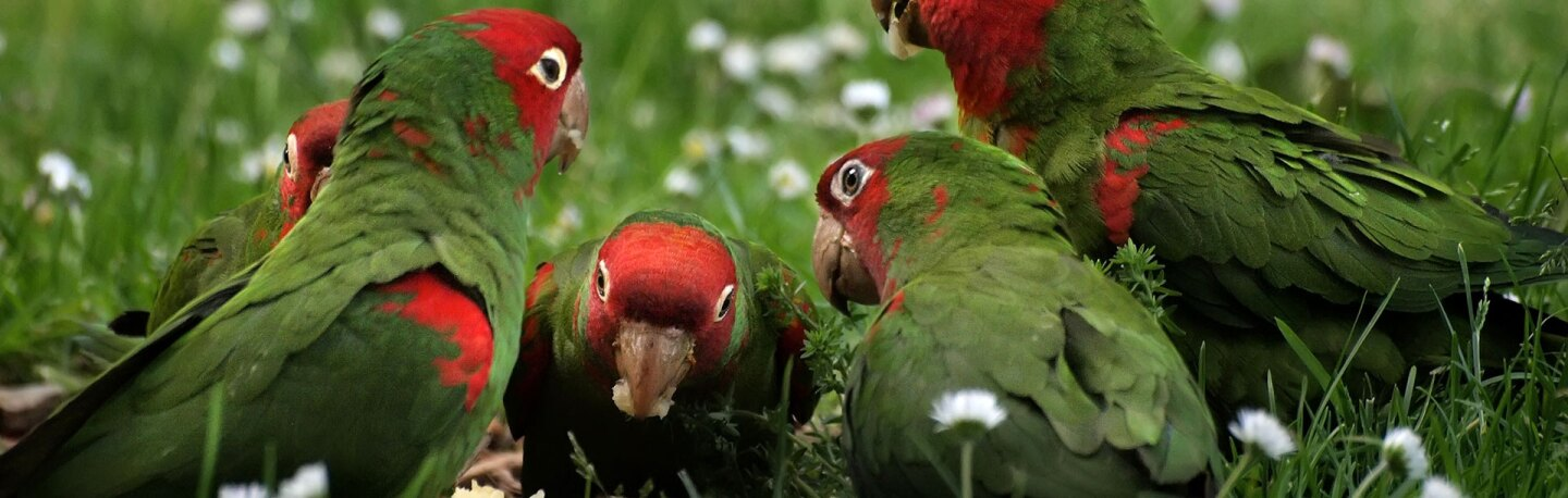 Cherry-headed conures feast on a discarded apple core. | Photo: Ingrid Taylar, some rights reserved