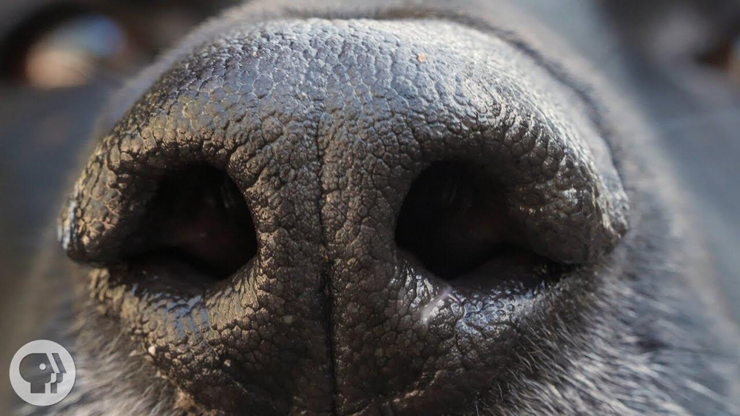 "Closeup image of a dog's nose. | From ""Deep Look"" Web Series on PBS SoCal."