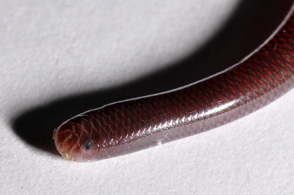 brahminy-blind-snake-3-18-16.jpg