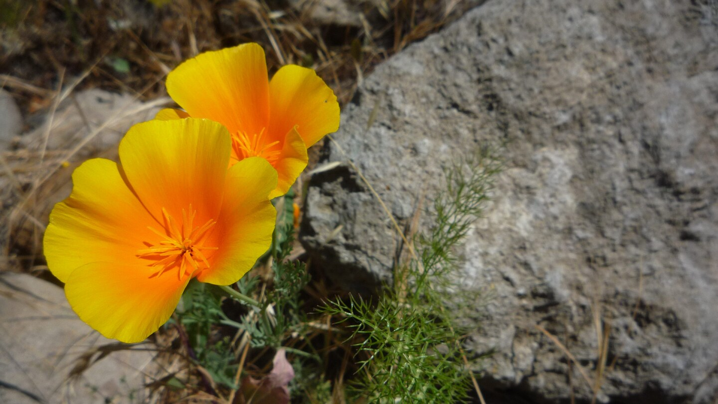 Wildflowers bloom at the Santa Monica Mountains