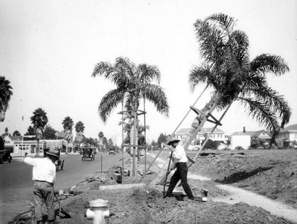 Workers plant palm trees on Wilshire Boulevard between Western and Wilton in 1926. Courtesy of the Security Pacific National Bank Collection, Los Angeles Public Library.